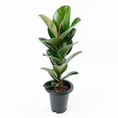 FF8301 고무나무(소)