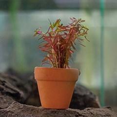 로탈라 로툰디폴리아 1포트 (Rotala rotundifolia)_(1084583)