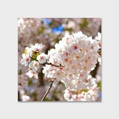 영원히 지지 않는 벚꽃 인테리어 에디션 no.06