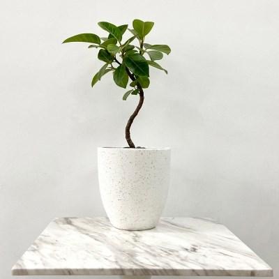 플라랜드 공기정화식물 키우기쉬운식물 s라인 가지 뱅갈고무나무