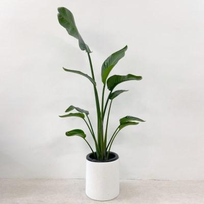 플라랜드 공기정화식물 대형 여인초 극락조 테라조 화분