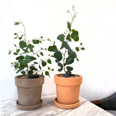 플라랜드 공기정화식물 유칼립투스 폴리안 나폴리 테라코타 토분