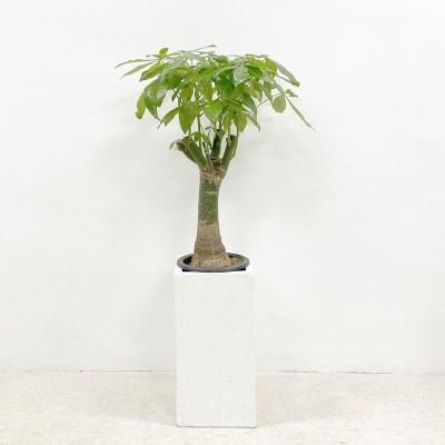 플라랜드 공기정화식물 키우기 쉬운 식물 파키라 테라조
