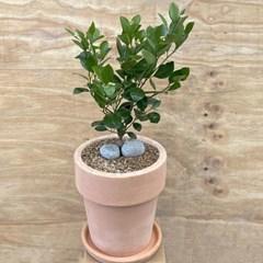 플라랜드 공기정화식물 중대형 유주나무  테라코타빗살 화분