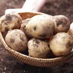 [농사랑]갯바람 수미감자 5kg(70-90g내외/감자채용)_(1371723)