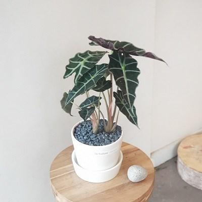 공기정화시켜줄 특별한 알로카시아 아마조니카 화이트화분