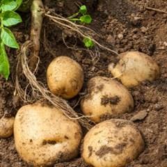 [농사랑]정완농원 유기농 감자 3kg(80g-150g 혼입)_(1383918)