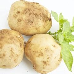 [농사랑]정완농원 유기농 감자 10kg(80g-150g 혼입)_(1383916)