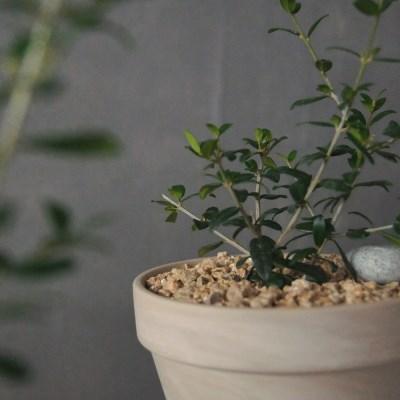 아마란스 올리브나무 독일 토분 세트