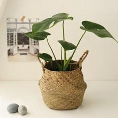[plant] 식물 몬스테라 해초바구니set_(723128)