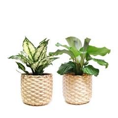 cool summer 공기정화식물 15cm 포트+대나무 라탄바구니(L)
