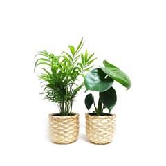 cool summer 공기정화식물 10cm 포트+대나무 라탄바구니(S)