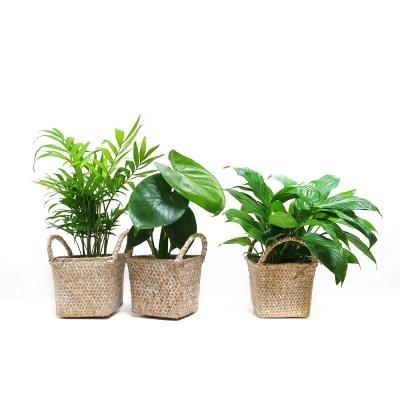 cool summer 공기정화식물 10cm 포트+내추럴 라탄바구니