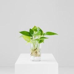 공기정화식물 인테리어 스킨답서스 수경식물 화병선택_(1349628)