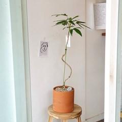 라인을 살려서 황칠나무 이태리토분 80-90cm  (수도권지역가능)