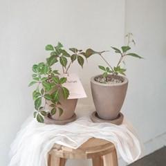 단풍덩굴식물 고려담쟁이 모카토분