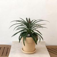 플라랜드 집들이선물 거실인테리어식물 파인애플 나폴리 토분