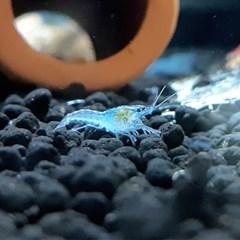 미스테리(마블) 블루가재 1~1.5cm 1마리_(1149093)