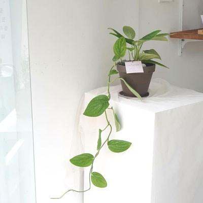 우리집 공기청정식물 몬스테라 카스테니안 토분