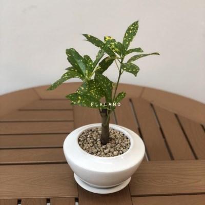플라랜드 거실화분 공기정화식물 목크로톤 우주선 크랙화분