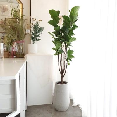 세련된 화분에 담긴 떡갈고무나무 140-150cm (수도권지역가능)