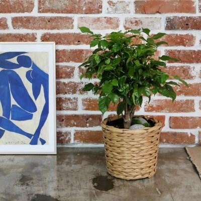 초록초록 홈카페 공기정화식물 녹보수 라탄바구니
