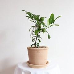 레몬나무열매 키우기