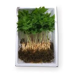 [남도장터]이로운 새싹삼 100뿌리 (25cm 이상)