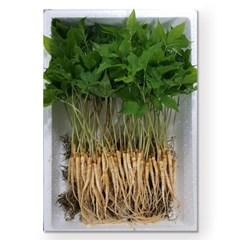 [남도장터]이로운 새싹삼 50뿌리 (25cm 이상)
