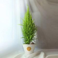 연두빛 싱그러운 공기정화식물, 율마 (중형) [전국택배]