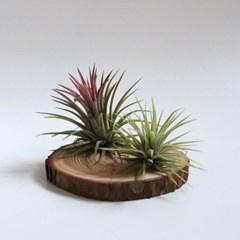 낙엽송 나무 틸란드시아 이오난사