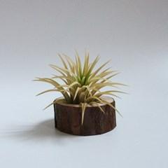 구멍 낙엽송 나무 틸란드시아 이오난사