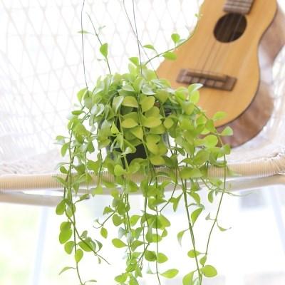 디시디아 애플리프 공중식물 행잉플랜트 공기정화식물