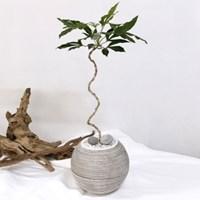 플라랜드 공기정화식물 곡선 라인 황칠나무 줄무늬 볼단지화분