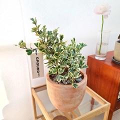 스윗하트 고무나무 소형 토분