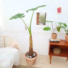 대표 관엽식물 알로카시아 대형 토분