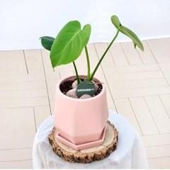 작은 핑크화분 속 몬스테라 화분