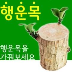 행운목 (소) x 2개_(1240757)