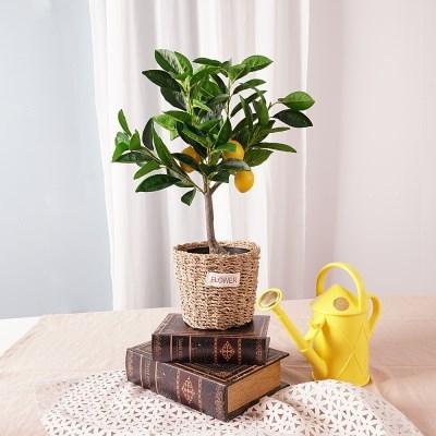 레몬 조화나무