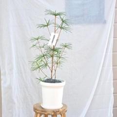 정원수로 매력적인 중형 금송 화이트 화분