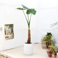 특대형 잎사귀를 지닌 알로카시아 화이트 FRP 화분