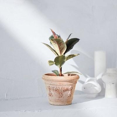수채화 고무나무 토분세트