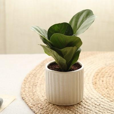 [plant] 떡갈고무나무 식물화분set_(941839)