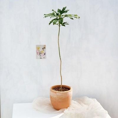 중형화분 황칠나무 토분
