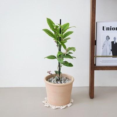 레몬 나무 토분세트