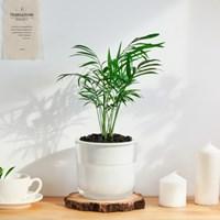 [숲 만드는 반려나무] 테이블야자, 책상 위의 작은 정글
