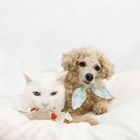 제주의 꽃 동백/수국 강아지 고양이 스카프 / 반려동물 면 스카프