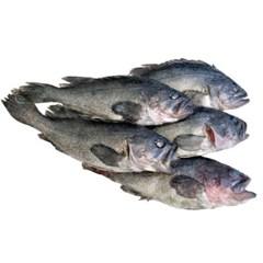 반건조 우럭 5미 (28cm/230g 내외) 생선구이