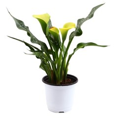 미미네가든 카라 (옐로우) 1포트 - 공기정화식물 화분_(1281154)