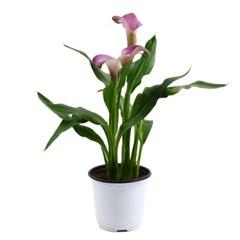 미미네가든 카라 (퍼플) 1포트 - 공기정화식물 화분_(1281153)